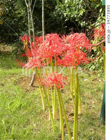 赤いヒガンバナの花 34773895