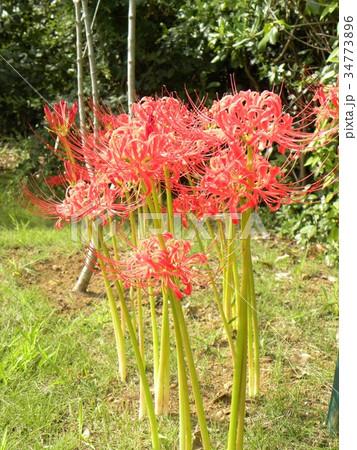 赤いヒガンバナの花 34773896