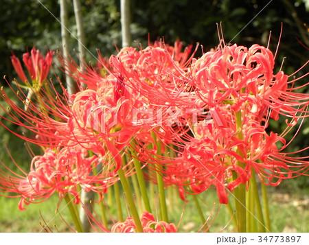 赤いヒガンバナの花 34773897