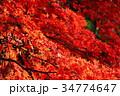 紅葉 カエデ 葉の写真 34774647