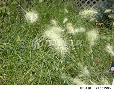 ペニセタムの柔らかい穂状花 34774965
