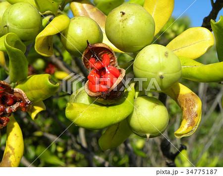 実が裂けて赤い粘液が付いた種が顔を出したトベラの実 34775187