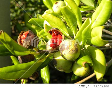 実が裂けて赤い粘液が付いた種が顔を出したトベラの実 34775188