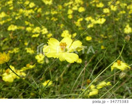 キバナコスモスの黄色い花 34775383