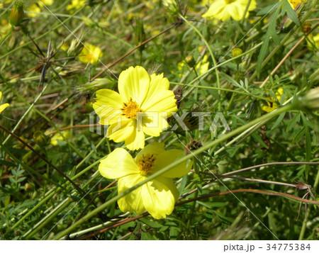 キバナコスモスの黄色い花 34775384