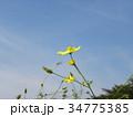 青空に映えるキバナコスモスの花 34775385