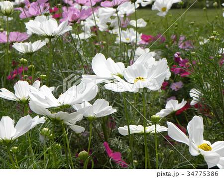 白いの秋の花コスモスが沢山咲いています 34775386