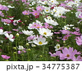 白色とピンクの秋の花コスモスが沢山咲いています 34775387