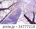 東京ミッドタウンと桜 34777218