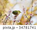 目白 梅 花の写真 34781741