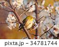 目白 梅 花の写真 34781744
