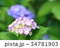 紫陽花 あじさい 花の写真 34781903