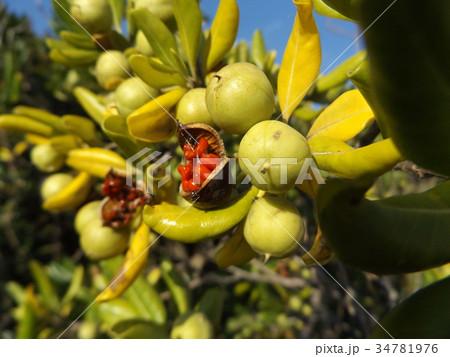 実が裂けて赤い粘液が付いた種が顔を出したトベラの実 34781976