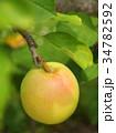 リンゴ りんご 林檎の写真 34782592