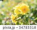 花 薔薇 植物の写真 34783318