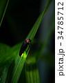 ゲンジボタル 蛍 昆虫の写真 34785712
