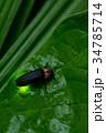 ゲンジボタル 蛍 昆虫の写真 34785714