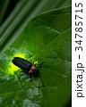 ゲンジボタル 蛍 昆虫の写真 34785715