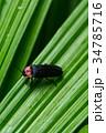 ゲンジボタル 蛍 昆虫の写真 34785716