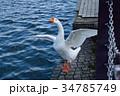 ガチョウ 鳥 水辺の写真 34785749