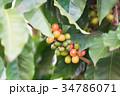 コーヒーの木/Coffee Tree_1 34786071