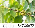 コーヒーの木/Coffee Tree_2 34786072