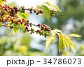 コーヒーの木/Coffee Tree_3 34786073