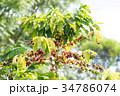 コーヒーの木/Coffee Tree_4 34786074