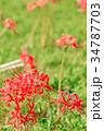 花 リコリス 曼珠沙華の写真 34787703