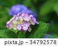紫陽花 あじさい 花の写真 34792578