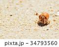 ヤドカリ 動物 砂浜の写真 34793560