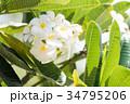 ハワイを代表する花/Hawaiian Flowers_3 34795206
