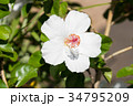 ハワイを代表する花/Hawaiian Flowers_6 34795209