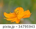 キバナコスモス コスモス キク科の写真 34795943