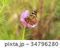 ヒメアカタテハと秋桜 34796280