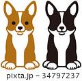 ウェルシュ・コーギー 犬 34797237