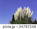 パンパスグラス シロガネヨシ 秋の写真 34797248