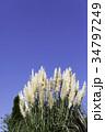 パンパスグラス シロガネヨシ 秋の写真 34797249
