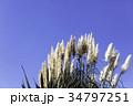 パンパスグラス シロガネヨシ 秋の写真 34797251