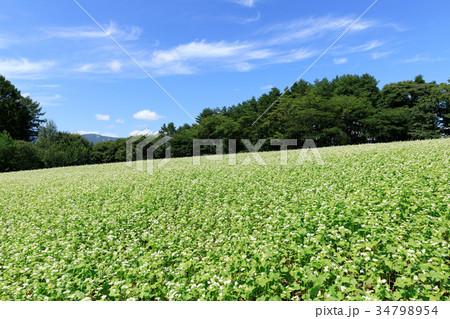 長野_秋晴れ輝く蕎麦畑 34798954