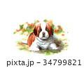 犬のハガキ素材セントバーナード子犬ヨコ型 34799821