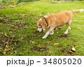ビーグル犬 34805020