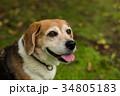 ビーグル犬 34805183