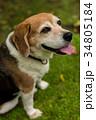 ビーグル犬 34805184