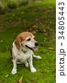 ビーグル犬 34805443