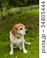 ビーグル犬 34805444