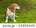 ビーグル犬 34805445