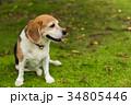 ビーグル犬 34805446