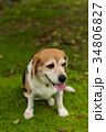 ビーグル犬 34806827