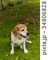 ビーグル犬 34806828